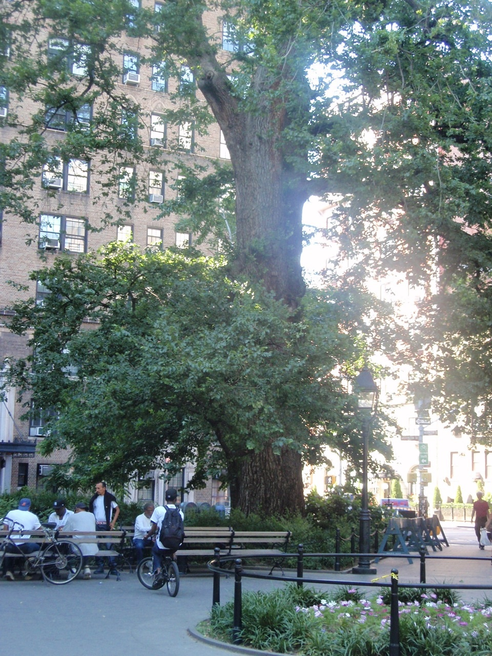 """In Jeopardy: Washington Square's 330 Year Old """"Hangman's"""" English Elm — Is Improper and Inadequate protection during Park's recent construction the cause?"""