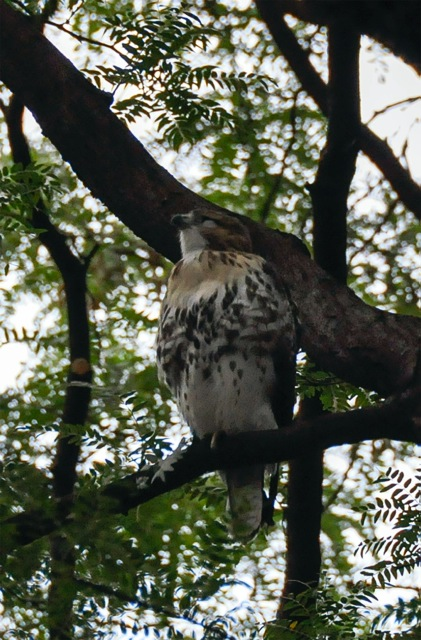 Two of Central Park's Fledgling Red-Tailed Hawks' Lives in Jeopardy — Rat Poison Likely The Culprit